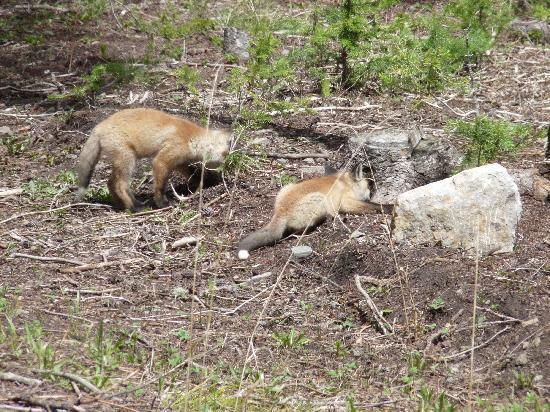 Canyon Village Yellowstone : Red Fox & Kit, near Silver Gate, NE Entrance