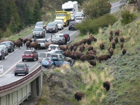 Canyon Village Yellowstone : Bison Jam, Confusion, then consolidated and walked toward me via the bridge.