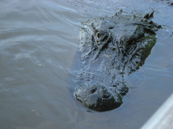 Cajun Encounters: Alligator Close Up