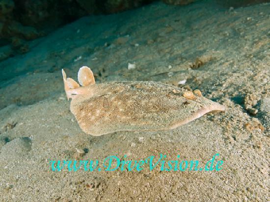 Extra Divers Aqaba: Torpedo ray