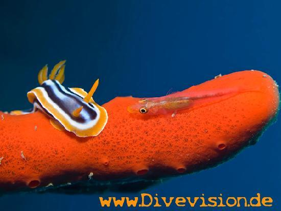 Extra Divers Aqaba: Pyjama slug on sponge