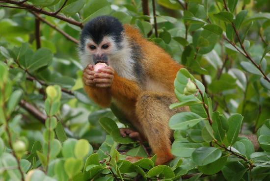 Casa Bambu Resort: squirrel monkey eating fruit on the beach