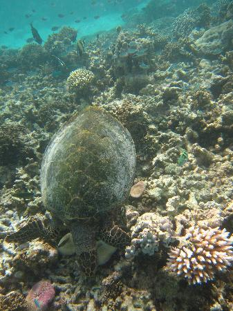 Baros Maldives: One of the locals on the house reef