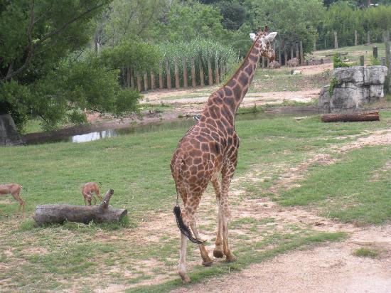 Waco, TX: giraffe