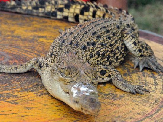 Samui Snake Farm: Baby Croc