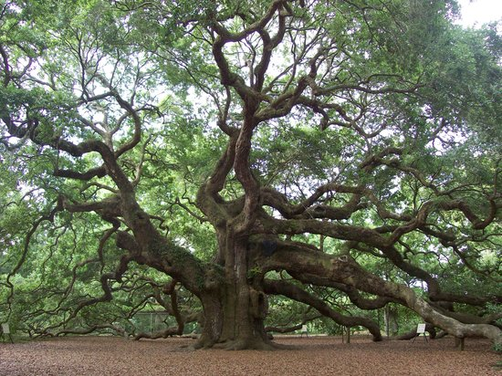 Johns Island, SC: The Angel Oak