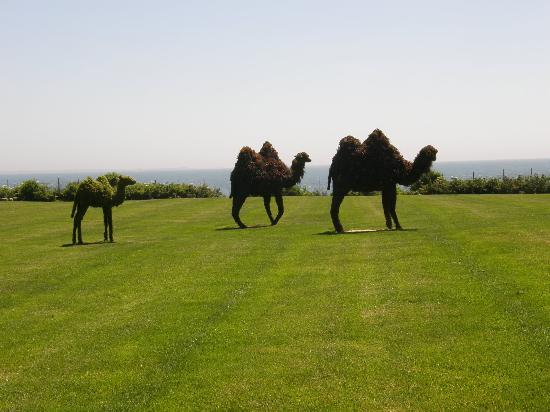 Rough Point: Camel topiaries on front lawn commemorating the real camels Doris Duke had at the estate