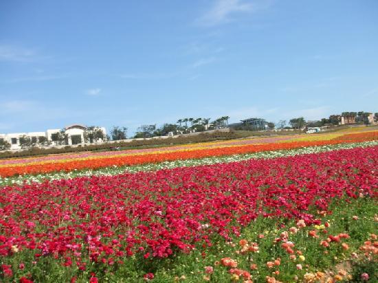 Carlsbad Flower Fields: Flower Fields