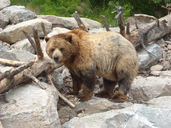 Saint-Felicien, Kanada: Le grizzly