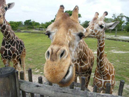 Miami, FL: Giraffe africaine
