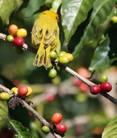 Mango Sunset BnB at Lyman Farms: Saffron Finch on a coffee tree.