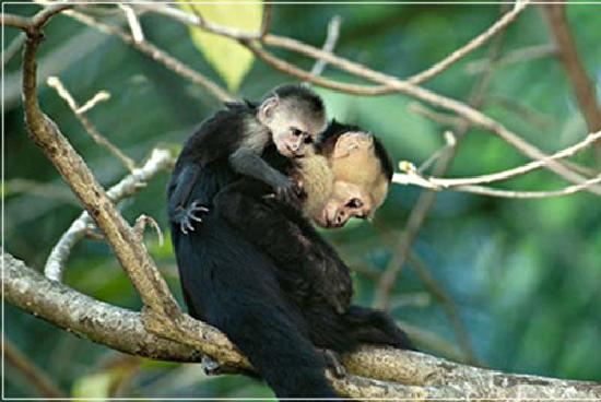 Buena Vista Luxury Villas: Capuchin Monkey & Baby