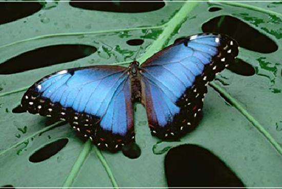 Buena Vista Luxury Villas: Morpho Butterfly