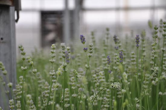 NEOB Lavender - Niagara Essential Oils & Blends: Niagara Lavender