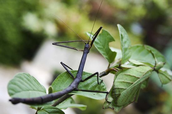 Phuket Butterfly Garden & Insect World: Walking Stick