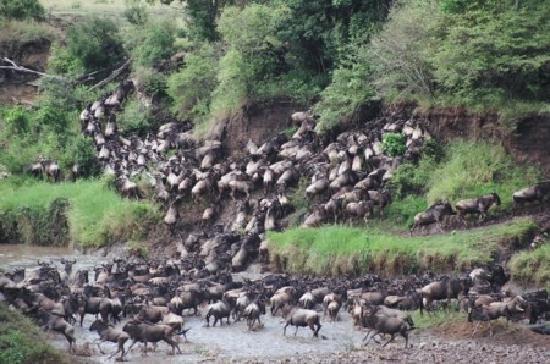 Nairobi, Kenya: the wilderbeast migratiom