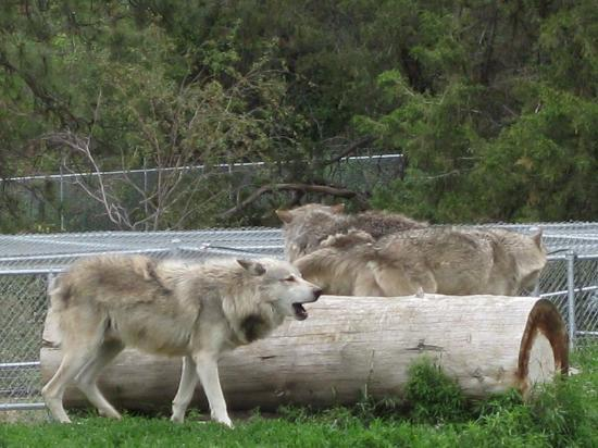 Kamloops Wildlife Park: Wolves howling