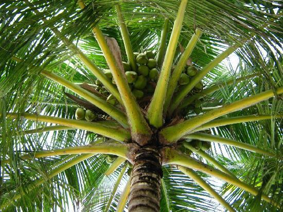 Asdu Sun Island: Palma da cocco