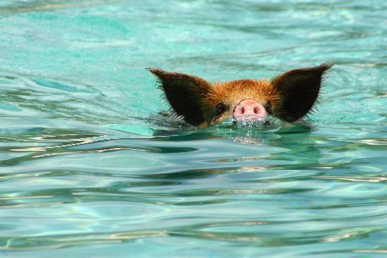 Robert's Island Adventures: The Swimming Pigs!