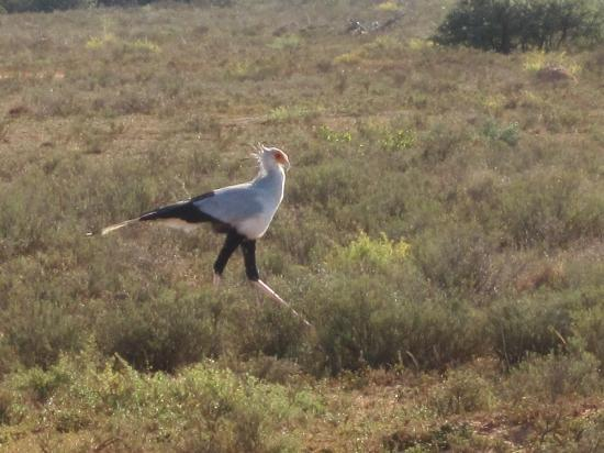 Shamwari Game Reserve Lodges: My favourite, the Secretary bird