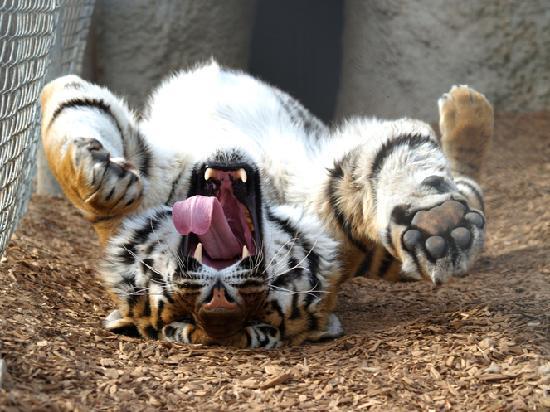 Keenesburg, CO: Happy rolling tiger