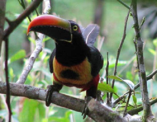 Finca Paz y Flora: Fire Billed Aracari toucans nearby