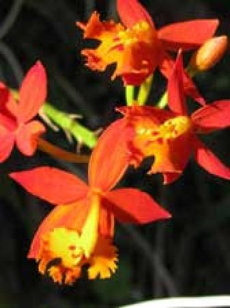 Finca Paz y Flora: one of the many orchids on the property - Epidendrum radicaans