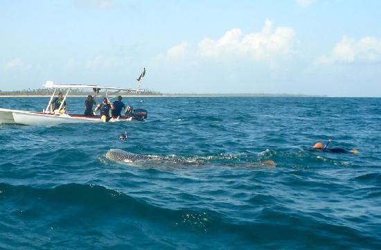 Butiama Beach: Swimming with whalesharks