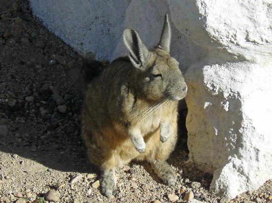 Parque Nacional Lauca: Viscacha