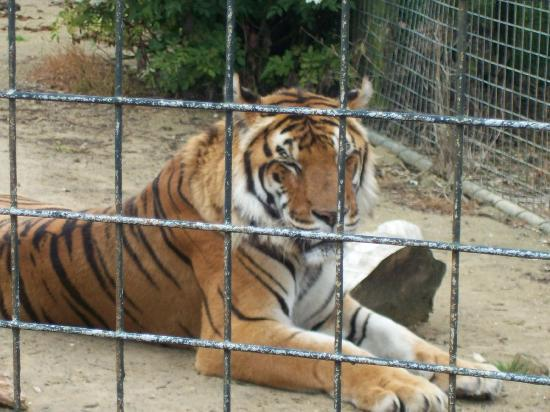 Isle of Wight Zoo : Original Tiger