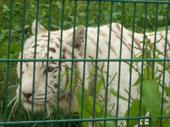 Sandown, UK: White Tiger
