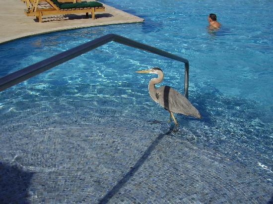 Finch Bay Eco Hotel: Heron taking a dip in the pool
