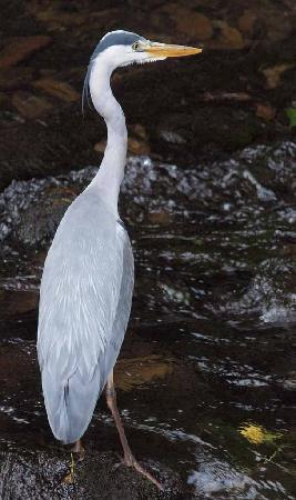 'Clint' the local riverside heron