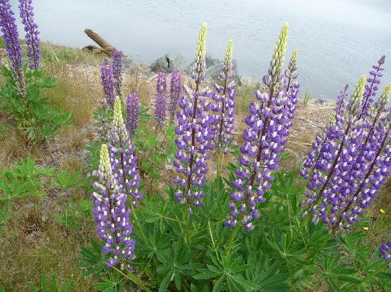 Evangeline's Tower Bed and Breakfast: Lupines all over the place