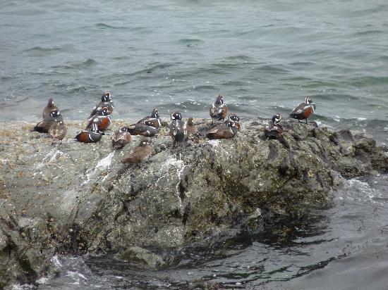 San Juan Island, WA: Harlequin Ducks, mostly male