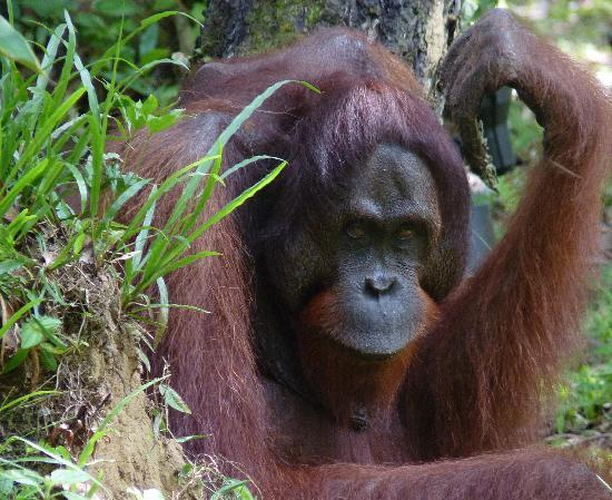 Borneo Rainforest Lodge: the king!