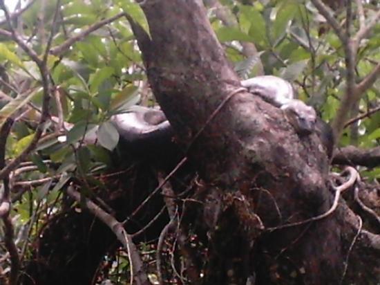 Cuyabeno Wildlife Reserve, Ισημερινός: anconda 5 meters aproximatly cuyabeno