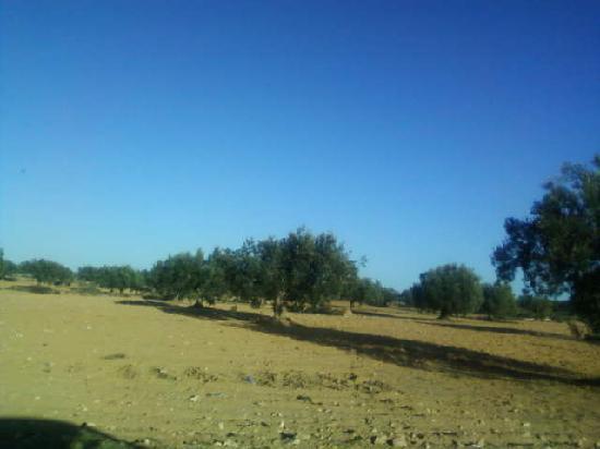 les champs d oliviers de zarzis