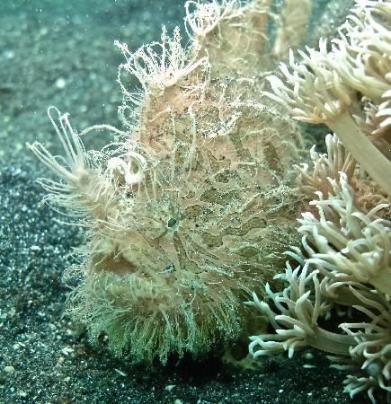 Eco Divers Resort Lembeh: hairy frogfish
