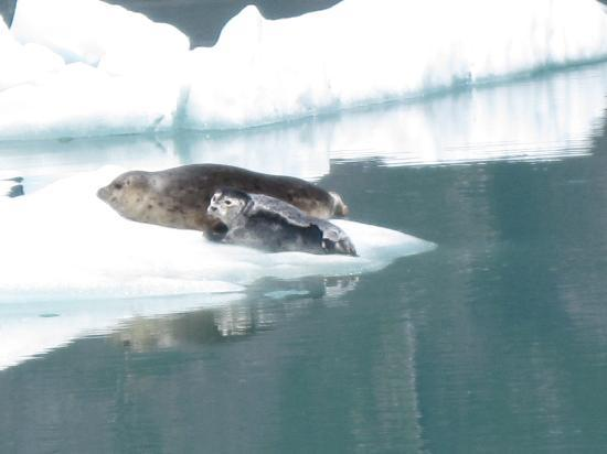 Tracy Arm Fjord: Harbor seal and pup