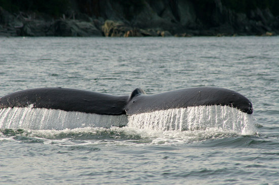 Juneau, AK: One of the humpbacks we came across
