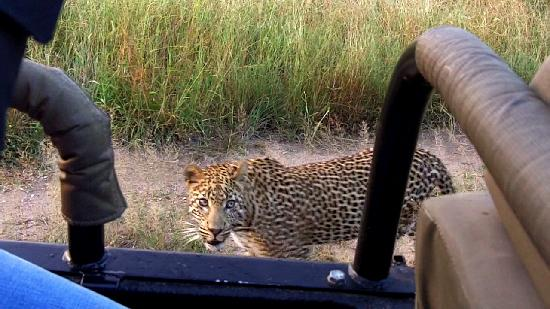 Sabi Sabi Bush Lodge: One of the leopards we saw... the young Madura (spelling?)...