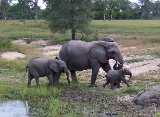 Sabi Sabi Bush Lodge: We followed this herd of elephants for quite some time, the baby made us all laugh out loud as i