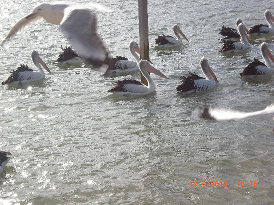 Phillip Island, Australia: Pelican feeding - sharp 12noon