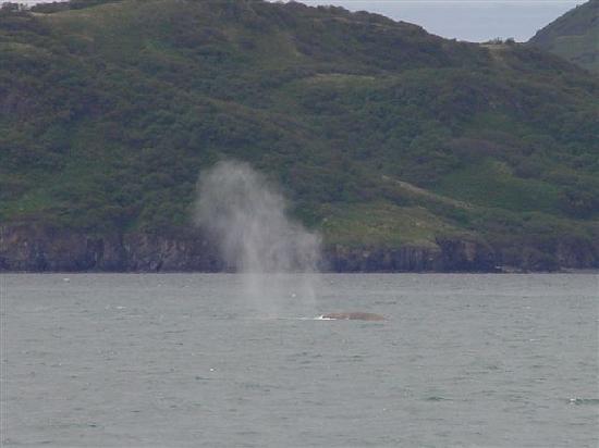 Humpback Whales Blowing Picture Of Alaska S Kodiak
