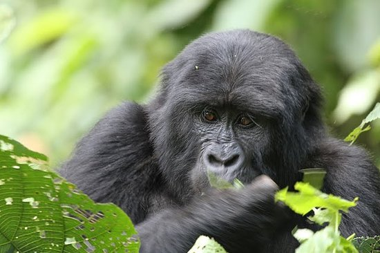 Bwindi Impenetrable National Park, Uganda: In her element