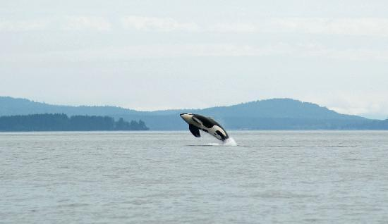 Western Prince Whale & Wildlife Tours: Breach!