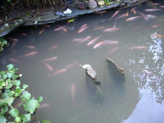 Finca Villa Luz: fish pond