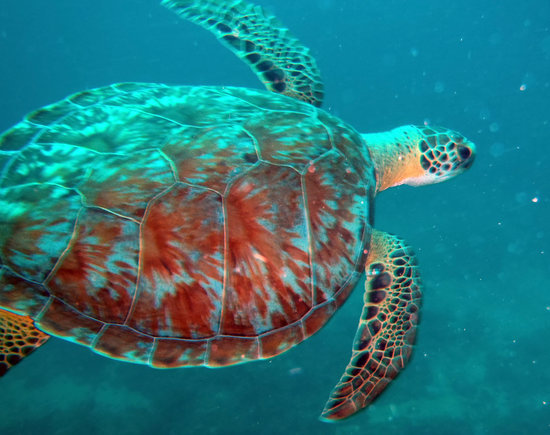 Dive Adventures : Swimming with a turtle makes my day!
