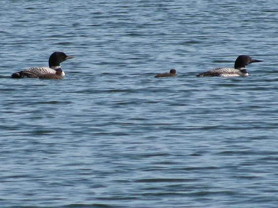 Sleeping Fawn Resort & Campground: It was amazing to be able to see the baby loons so closely!